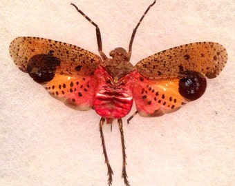 Lantern fly Cicada, Taxidermy, Oddity, Curiosity, Insect, Bug Art, Mature