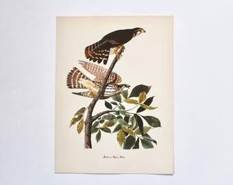 Vintage Bird Book Illustration Lithograph Print of Merlin or Pigeon Hawk- Birds of Prey/Raptors