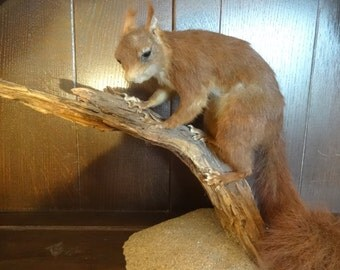 Vintage French floor standing Red Squirrel taxidermy figurine statue on wood hunting trophy circa 1970-80's / English Shop