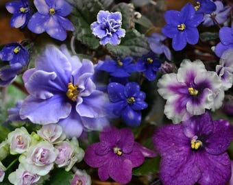 African Violet MIXED LOT 8 Pairs Of Leaves Semiminiature House Plant Flower