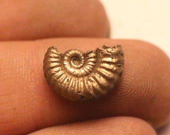 12mm Androgynoceras iron pyrite ammonite fossil found on the Jurassic coast UK  0326
