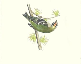 Bird Print Antique, Firecrest, Bird Print, History of British Birds, F O Morris, 1851