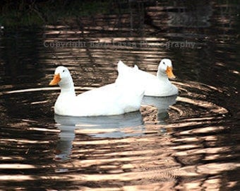Pekin ducks, spring, fine art, photography, Barb Lassa, photographic print