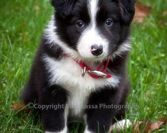 Border Collie, puppy, black, white, fine art, photography, print, Barb Lassa, 8x10