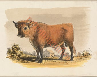 Handsome Bull image from 1800's digital download art print, for framing, collage, mixed media, altered art, cattle