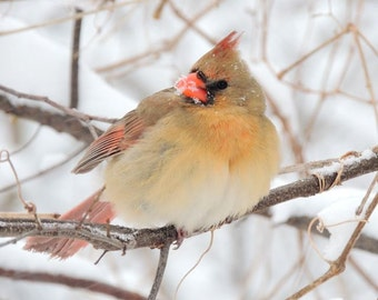 Bird Photograph - Cardinal -Snowy Winter - Winter Bird - Female Cardinal - New York Cardinal - Cardinal Photograph - Nature Photography