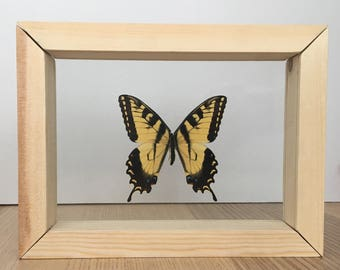 Real Butterfly // Eastern Tiger Swallowtail // Taxidermy Butterfly // Framed Butterflies // Dried Butterflies
