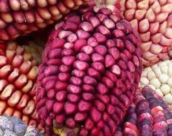 Early Pink Popcorn 40+ Seeds, heirloom/op