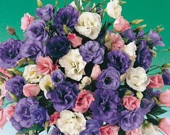 PBLIS)~ECHO MIX Lisianthus~Seeds!!!~~~~~Tall, Cutting Variety!!