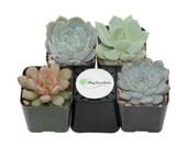 Shop Succulents Rosette Succulent Collection