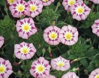 Morning Glory- Ensign Rose- 50 seeds