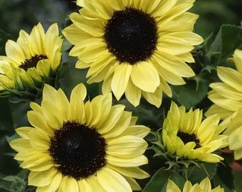 Sunflower- Moonshine - 100 Seeds each pack