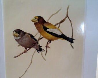 50% Off Estate Sale Vintage Evening Grosbeak 1960s Frameable Picture, Wall  Art Print of Bird Watercolor by  J.F. Lansdowne Item 435
