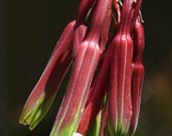 Beschorneria rigida False Agave Quart plant FREE SHIP