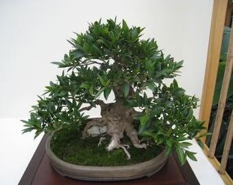 Bonsai - WEEPING CHINESE BANYAN  (Ficus Benjamina) 5 seeds