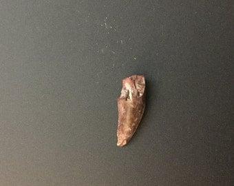 Raptor Fossil Tooth (Dromaeosaur) Dinosaur