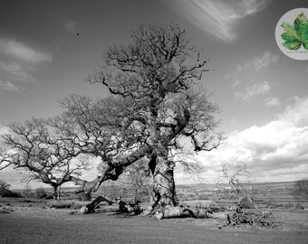 The Old Tree, Berkeley Gloucestershire A4 photography print back and white landscape
