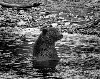 Grizzly Bear Fishing in Pool