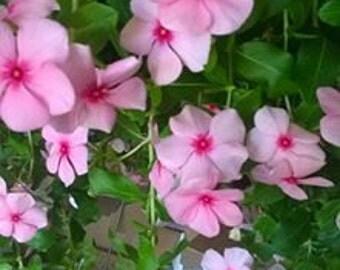 Blush Vining Vinca Seed