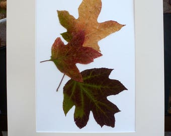 FREE SHIP  Real Pressed Leaf Botanical Art Herbarium of Oak Leaf Hydrangea Leaves 12x18