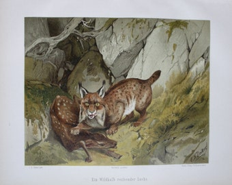 antique print lynx with roe deer kalf 1897