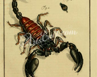 insects-02911 - Scorpion scorpio orientalis predatory arachnid vintage print high resolution printable page book illustration paper digital