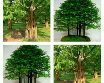 50 seeds metasequoia glyptostroboides dawn redwood Dawn Redwood alba seeds