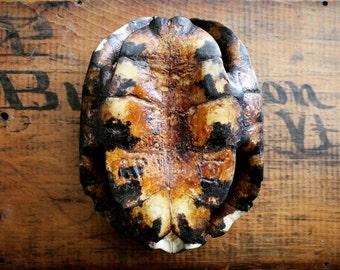 Vintage Turtle Shell, Turtle Carapace, Turtle Plastron, Vintage Library Decor, Authentic Tortoise shell, Turtle Specimen, Natural Decor