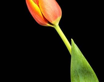 Orange Tulip, Nature Print, Botanical Wall Art, Flower Photography, Floral Photograph, nursery decor, feminine home, Spring Color, Romantic
