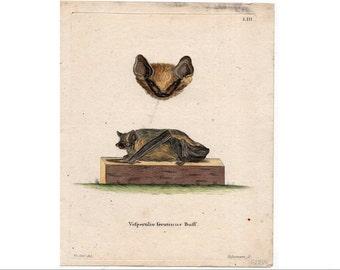 1775 ANTIQUE BAT ENGRAVING original antique hand colored print brown bats- vespertilio serotinus  - by Schreber