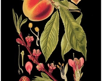 antique french botanical print peach fruit tree illustration black background digital download