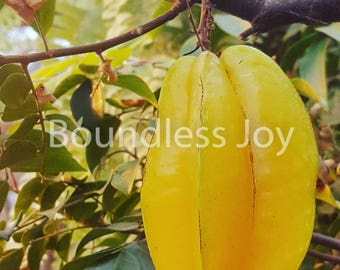 Tropical Yellow Starfruit Carambola Photo Print, Philippines South Pacific 8x10