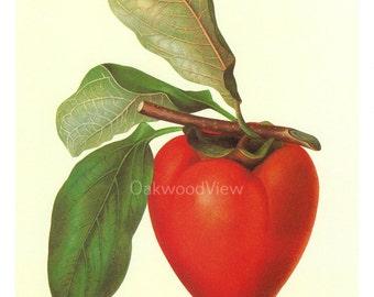 Persimmon by Deborah Griscom Passmore, Vintage 1994 8x12 Color Art Print, Japanese Botanical Fruit Wall Decor, FREE SHIPPING