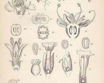 1890 Antique Botanical Print, BOTANY PLATE 1, Plant biology science illustration, FERN b/w plants botany engraving