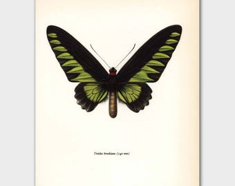 "Butterfly Art (Hostess Gift, Indian Decor, 1960s Print) ""Rajah Birdwing"" Vintage Lime Green and Black Art Book Plate to Frame No. 64-1"