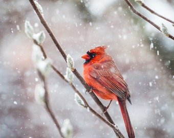 Cardinal in Snow Photo, Northern Cardinal, Wildlife Photo, nature photography, nursery decor - fine art photograph