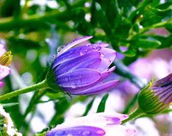 Wet African Daisy by Catherine Roché, California Nature Photography, Blooming Flowers Photography, Raindrops Photography, Fine Art