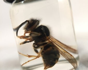 Single Wasp Wet Specimen.