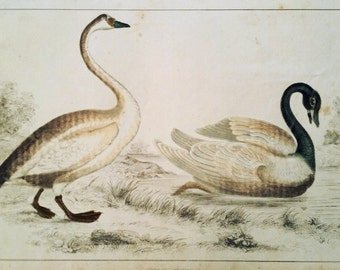 Swans ca. 1850, Original Hand-Colored Engraving, Goldsmith, Vintage Print Published by Fullarton, Zoological / Ornithological Print