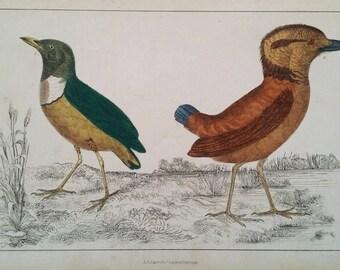 Breve Birds ca. 1850, Original Hand-Colored Engraving, Vintage Print, Goldsmith, Fullarton, Zoological / Ornithological Print