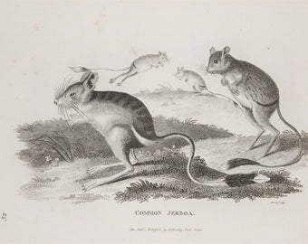 Jerboa Rodent Antique Print - Old 1804 Antique Georgian Copper Plate Engraving by George Shaw, Black and White (32)