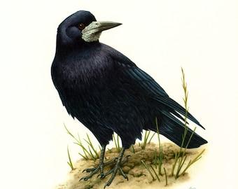 1961 Raven. Rook. Vintage Bird Print. Ornithology. Nature wall art.