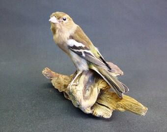 TAXIDERMY female Chaffinch no.9373 on driftwood. garden bird, finch.
