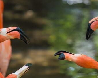 Prints - Flamingos Playing/Fighting