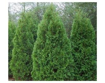 "Blue Cone Arborviate, 12 Plants 2.5"" Pot, Blue Cones, Durable and Versatile, Landscaping, Evergreen, Shrub, Bright Green Foliage, Hardy"