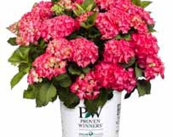 Proven Winner Cityline Paris Hydrangea, Pink Red Blooms, 1 Quart Potted Plant, Landscaping, Shrub, Novelty Plant, Very Nice, Unique