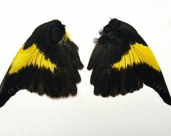 Real stuffed siskin wings curiosity tropical feathers mounted taxidermy Black yellow bird finch