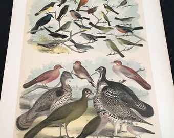 1881 Birds of North America Print - Finches and Warblers, Plate: CXIV, Color Lithograph by Jasper