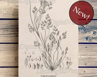 Grass print, Love grass print, Botanical illustration, Plant art, Grass art,  Eragrostis, Instant download vintage botanical print, Wall art