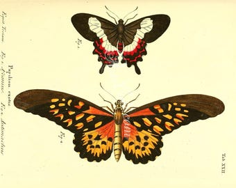 butterflies-05330 - papilio ascanius, papilio antimachus, giant African swallowtail, Fluminense swallowtail vintage printable picture image